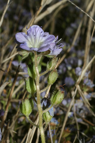 Image http://bioimages.vanderbilt.edu/lq/baskauf/wphdui-flinflor51239.jpg