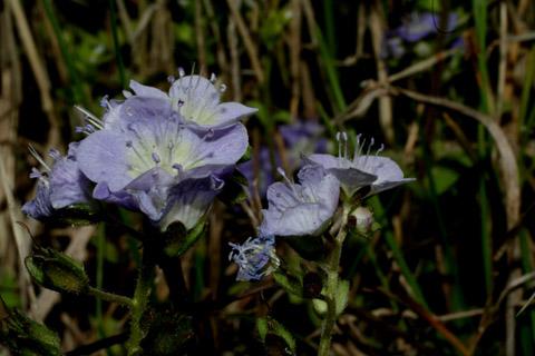 Image http://bioimages.vanderbilt.edu/lq/baskauf/wphdui-flside51230.jpg