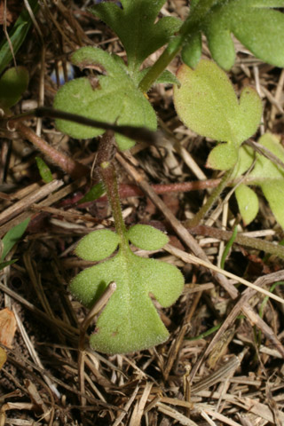 Image http://bioimages.vanderbilt.edu/lq/baskauf/wphdui-lf51236.jpg