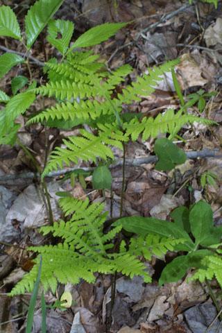 Image http://bioimages.vanderbilt.edu/lq/baskauf/wphhe11wp33443.jpg
