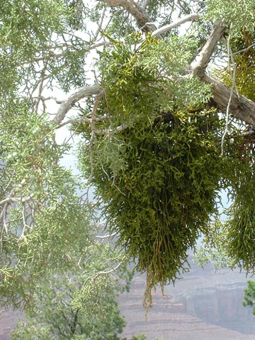 Image http://bioimages.vanderbilt.edu/lq/baskauf/wphju--wpon-juosd0759.jpg