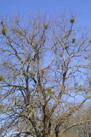 Image http://bioimages.vanderbilt.edu/lq/baskauf/wphle14wpdistant17723.jpg