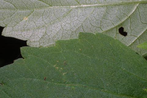 Image http://bioimages.vanderbilt.edu/lq/baskauf/wphle5-lfmargin-uplow36023.jpg
