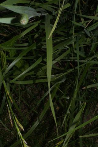 Image http://bioimages.vanderbilt.edu/lq/baskauf/wphpr3-lf35204.jpg