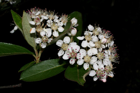 Image http://bioimages.vanderbilt.edu/lq/baskauf/wphpy4-fl51832.jpg