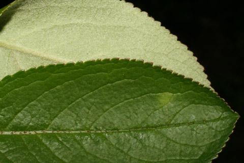 Image http://bioimages.vanderbilt.edu/lq/baskauf/wphpy4-lfmargin-uplow51850.jpg