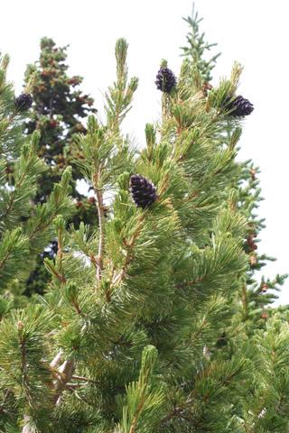 Image http://bioimages.vanderbilt.edu/lq/baskauf/wpial--cofemale-distant61853.jpg