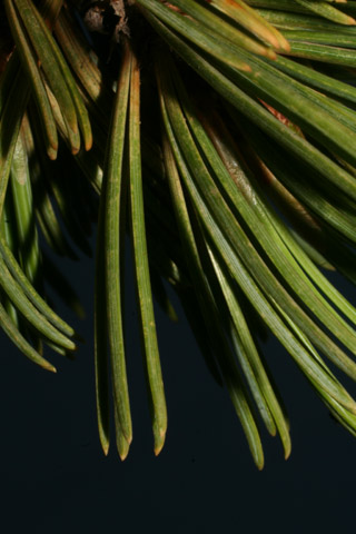 Image http://bioimages.vanderbilt.edu/lq/baskauf/wpial--lf61729.jpg