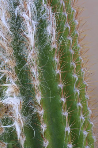 Image http://bioimages.vanderbilt.edu/lq/baskauf/wpial4-ar14993.jpg