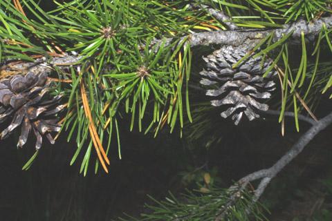 Image http://bioimages.vanderbilt.edu/lq/baskauf/wpico--cofemale-several42434.jpg