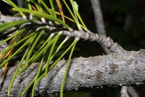 Image http://bioimages.vanderbilt.edu/lq/baskauf/wpico--tw42441.jpg