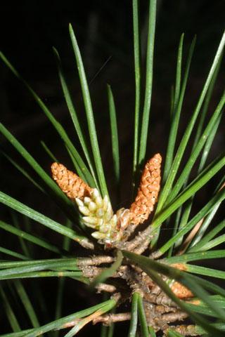 Image http://bioimages.vanderbilt.edu/lq/baskauf/wpiec2-comale34176.jpg
