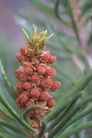 Image http://bioimages.vanderbilt.edu/lq/baskauf/wpied--comale14105.jpg