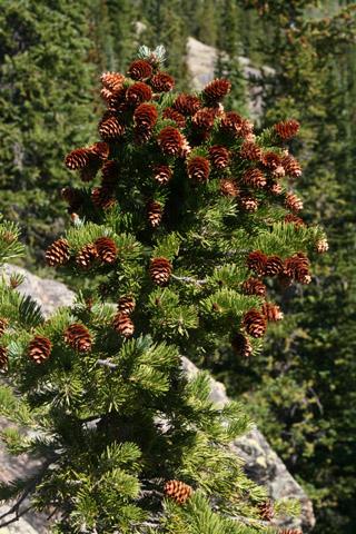 Image http://bioimages.vanderbilt.edu/lq/baskauf/wpien--codistant60561.jpg