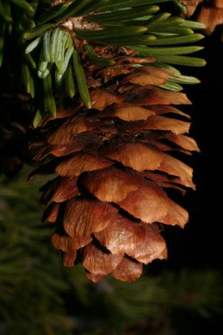 Image http://bioimages.vanderbilt.edu/lq/baskauf/wpien--cofemale60566.jpg