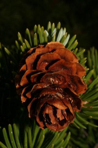Image http://bioimages.vanderbilt.edu/lq/baskauf/wpien--cofemale60569.jpg