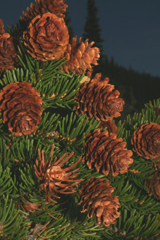 Image http://bioimages.vanderbilt.edu/lq/baskauf/wpien--coseveral60575.jpg