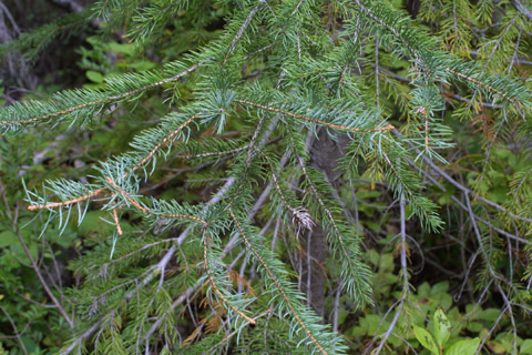 Image http://bioimages.vanderbilt.edu/lq/baskauf/wpien--lfseveral42650.jpg