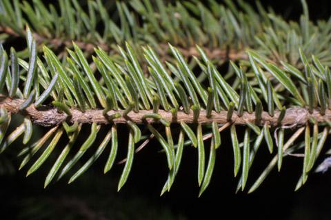 Image http://bioimages.vanderbilt.edu/lq/baskauf/wpien--tw42495.jpg