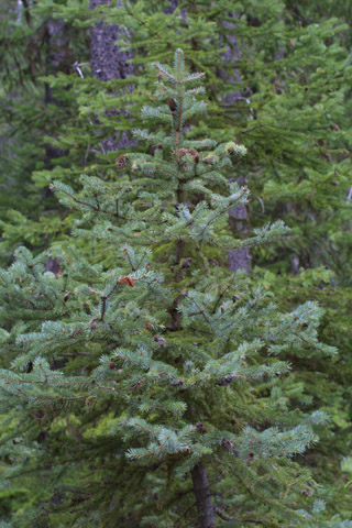 Image http://bioimages.vanderbilt.edu/lq/baskauf/wpien--wp42491.jpg