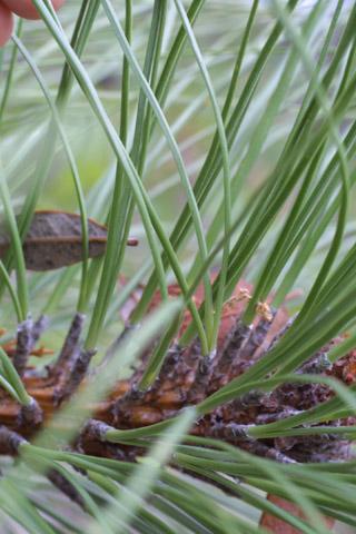 Image http://bioimages.vanderbilt.edu/gq/baskauf/gpien2-lf14575.jpg