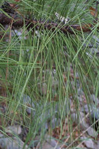 Image http://bioimages.vanderbilt.edu/lq/baskauf/wpien2-lfseveral14581.jpg