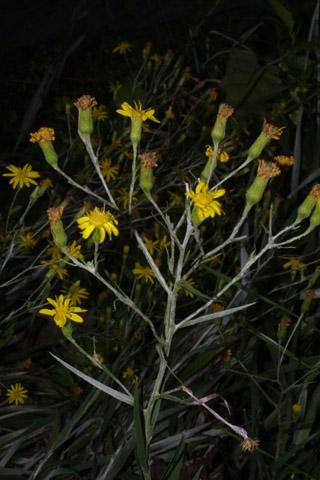 Image http://bioimages.vanderbilt.edu/lq/baskauf/wpigr4-flinflor38193.jpg