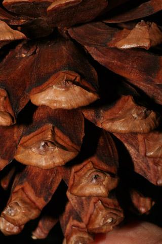 Image http://bioimages.vanderbilt.edu/lq/baskauf/wpilec-cofemale-close54101.jpg