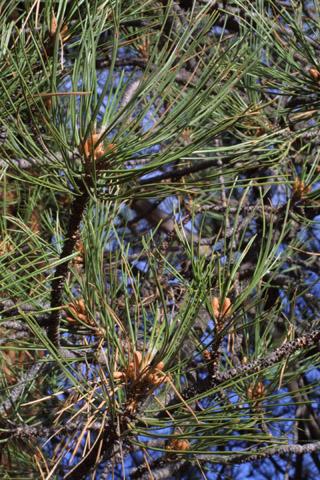 Image http://bioimages.vanderbilt.edu/lq/baskauf/wpipo--lfseveral14012.jpg