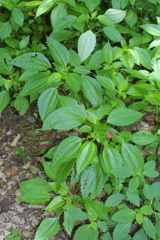 Image http://bioimages.vanderbilt.edu/lq/baskauf/wpipu2-wp36644.jpg