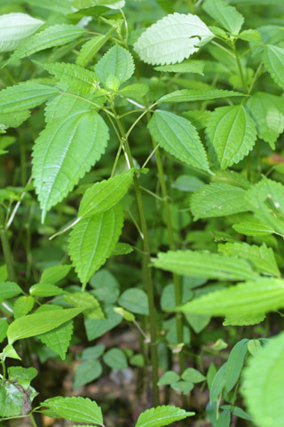 Image http://bioimages.vanderbilt.edu/lq/baskauf/wpipu2-wp36653.jpg