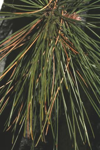 Image http://bioimages.vanderbilt.edu/lq/baskauf/wpire--lfseveral50507.jpg