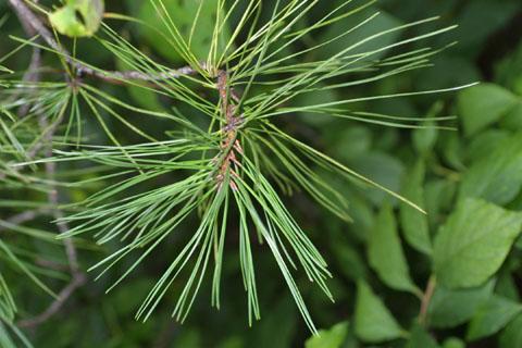 Image http://bioimages.vanderbilt.edu/lq/baskauf/wpiri--lfseveral38297.jpg