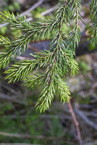 Image http://bioimages.vanderbilt.edu/lq/baskauf/wpiru--lfseveral11430.jpg
