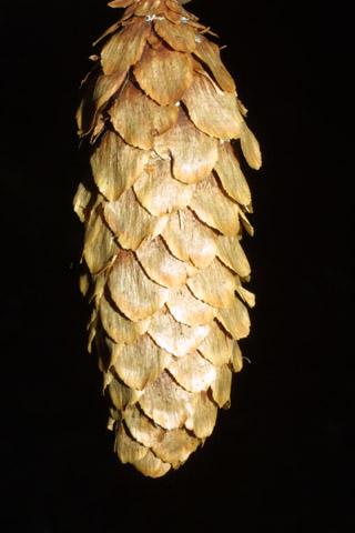 Image http://bioimages.vanderbilt.edu/lq/baskauf/wpisi--cofemale40727.jpg