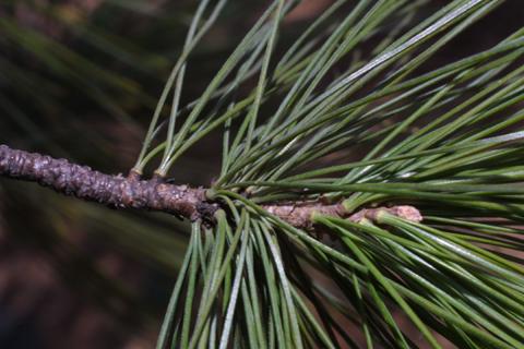 Image http://bioimages.vanderbilt.edu/lq/baskauf/wpist--tw17542.jpg