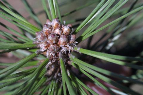 Image http://bioimages.vanderbilt.edu/lq/baskauf/wpist--twbuds10407.jpg