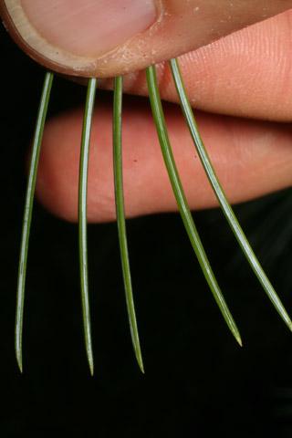 Image http://bioimages.vanderbilt.edu/lq/baskauf/wpist3-lf54732.jpg