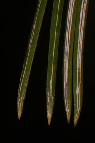 Image http://bioimages.vanderbilt.edu/lq/baskauf/wpist3-lfmicro54837.jpg