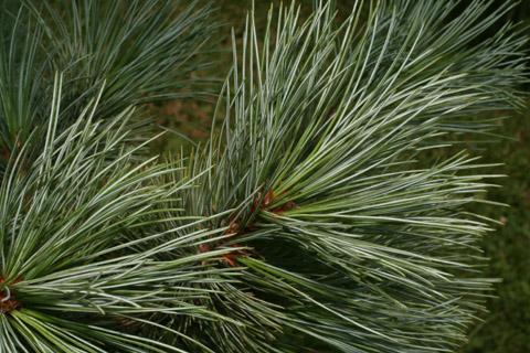 Image http://bioimages.vanderbilt.edu/lq/baskauf/wpist3-lfseveral54727.jpg