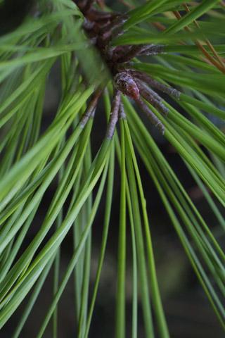 Image http://bioimages.vanderbilt.edu/lq/baskauf/wpita--lfcloseup15411.jpg