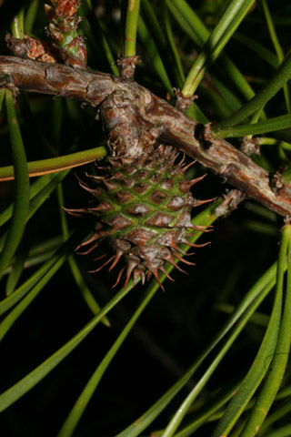 Image http://bioimages.vanderbilt.edu/gq/baskauf/gpivi2-cofem-1year51360.jpg