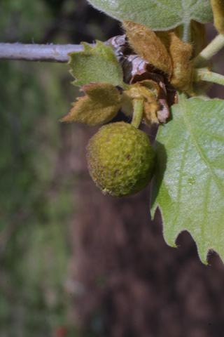 Image http://bioimages.vanderbilt.edu/lq/baskauf/wploc--flfemale19402.jpg