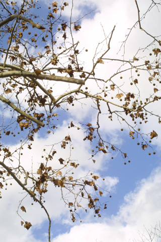 Image http://bioimages.vanderbilt.edu/lq/baskauf/wploc--frin-fruit16835.jpg