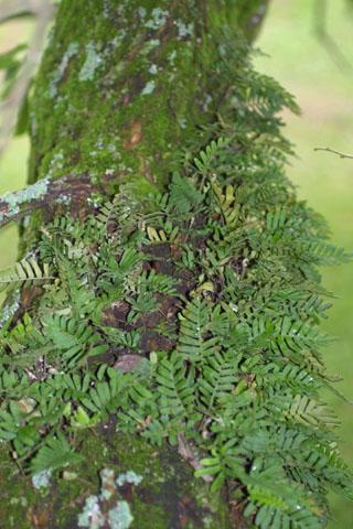 Image http://bioimages.vanderbilt.edu/lq/baskauf/wplpom-wpmass35145.jpg