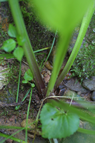 Image http://bioimages.vanderbilt.edu/lq/baskauf/wplru--lfpetiole12089.jpg