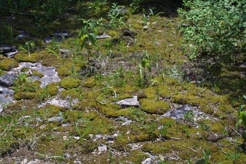 Image http://bioimages.vanderbilt.edu/lq/baskauf/wplsq2-wpmass12944.jpg