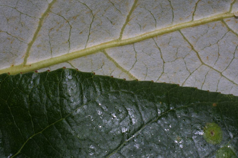 Image http://bioimages.vanderbilt.edu/lq/baskauf/wpobat-lfmargin-uplow41789.jpg