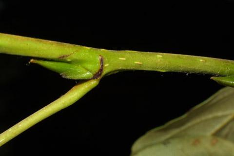 Image http://bioimages.vanderbilt.edu/lq/baskauf/wpobat-tw41787.jpg