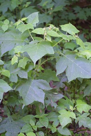 Image http://bioimages.vanderbilt.edu/lq/baskauf/wpoca11wp11029.jpg